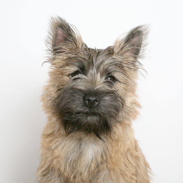 Cairn terrier portrait