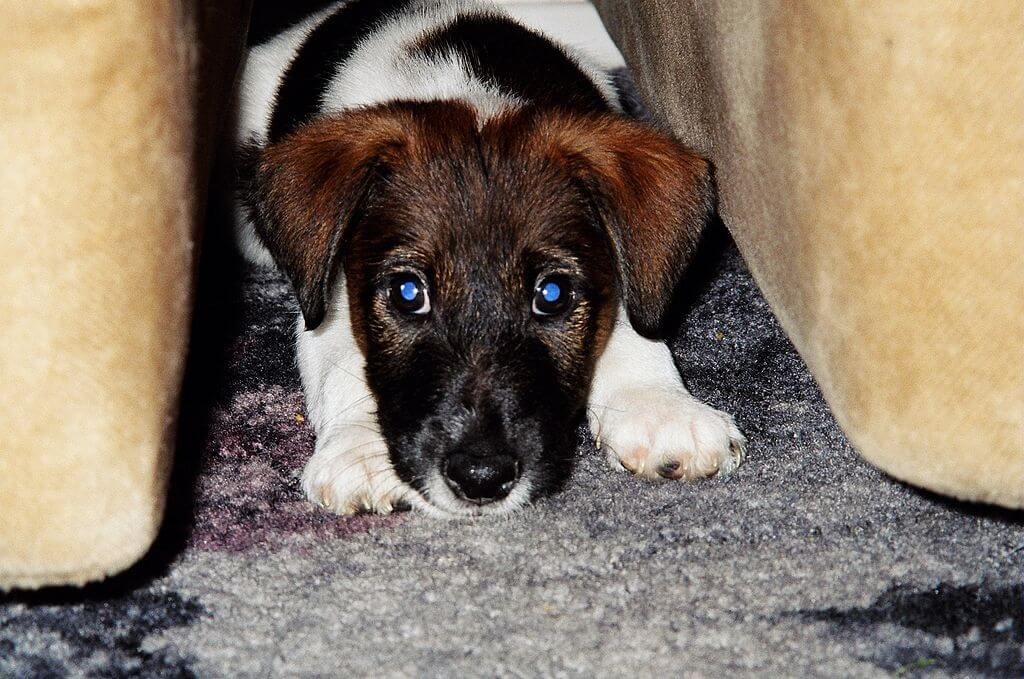 Chiot fox terrier poil lisse