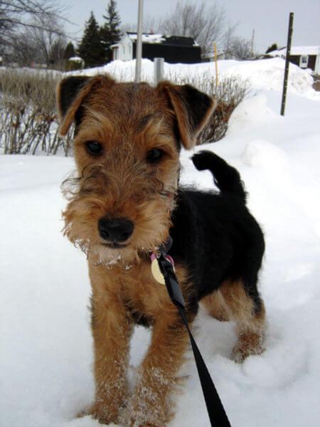 Chiot welsh terrier nécrose fémorale