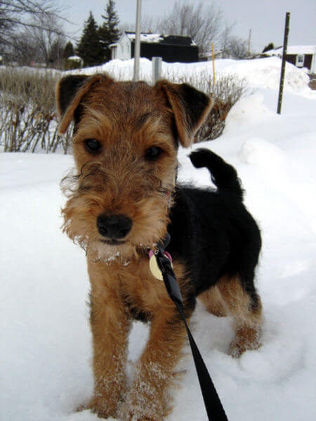 Chiot welsh terrier dans la neige