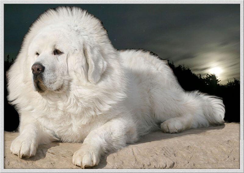 Dogue du tibet blanc