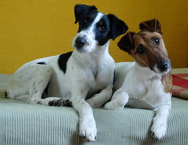 Fox terrier poil lisse adulte