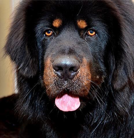 Mastiff tibetain noir feu