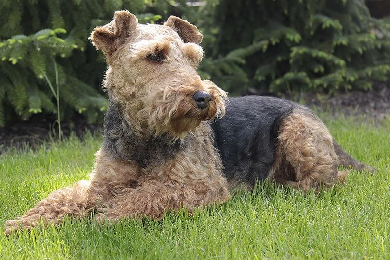 Welsh terrier chien lettre W