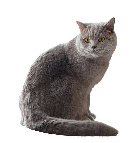 British shorthair adulte