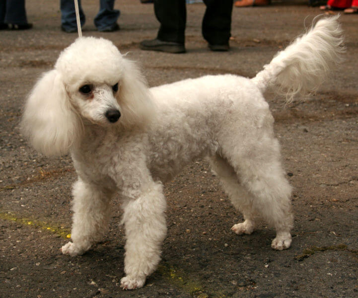 Caniche toy blanc