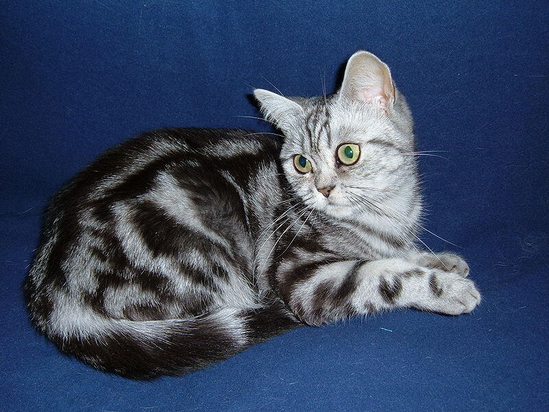 Chat british shorthair classic tabby