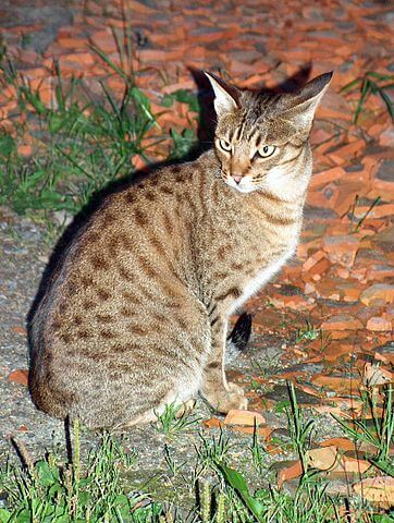 Chat ocicat brown spotted