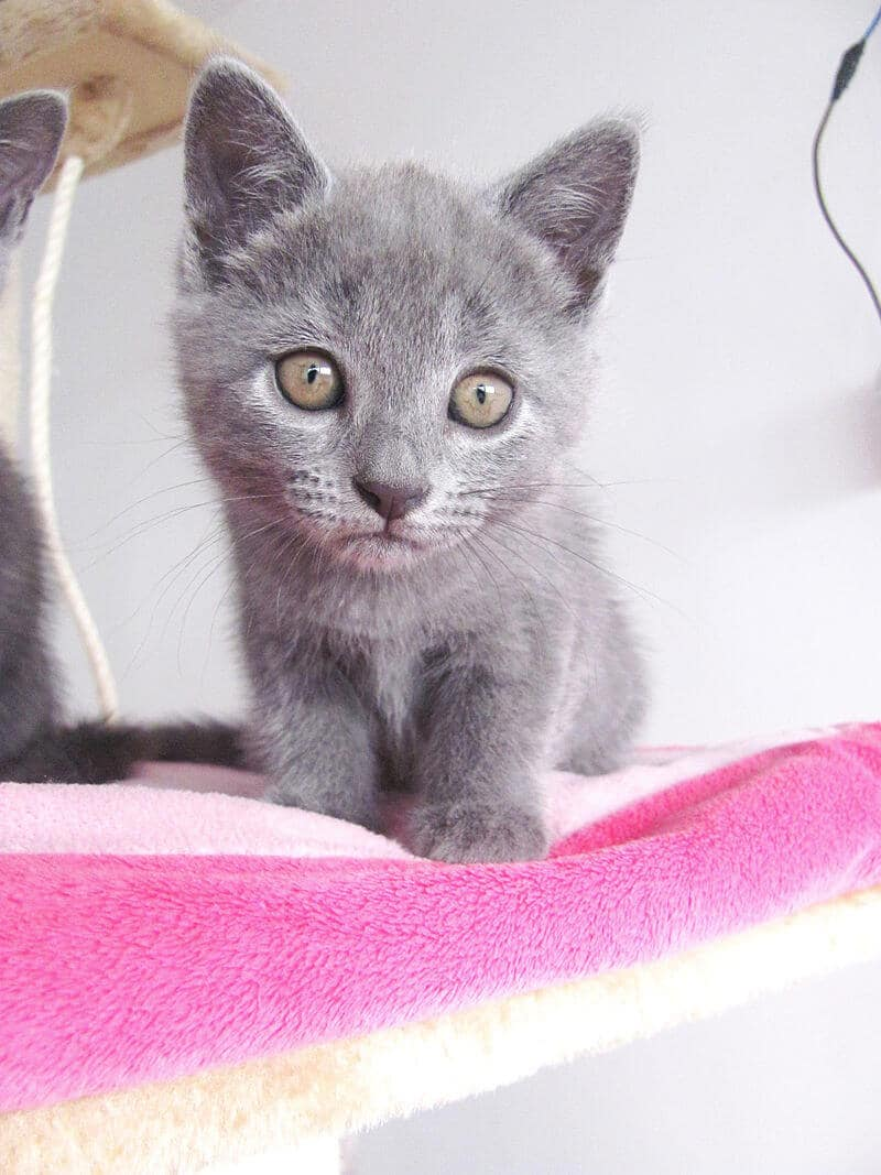 Chaton chartreux elevage