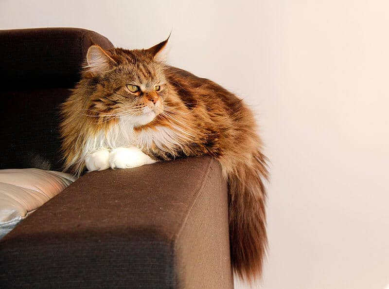 chat maine coon caract re prix et physique. Black Bedroom Furniture Sets. Home Design Ideas