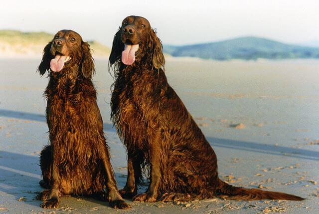 Deux setters irlandais a la plage