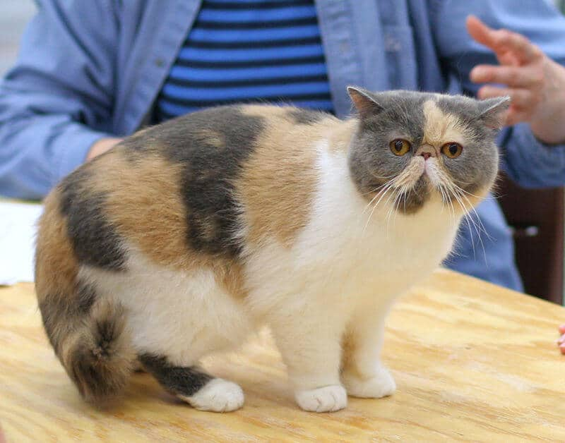 Exotic Shorthair tricolore