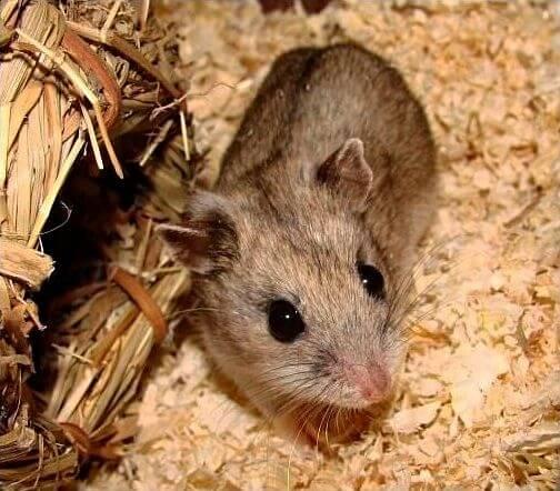 Hamster chinois brun