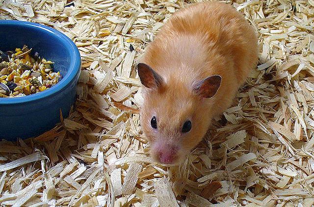 Hamster peche