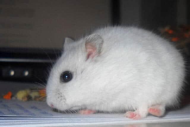 Hamster siberien russe