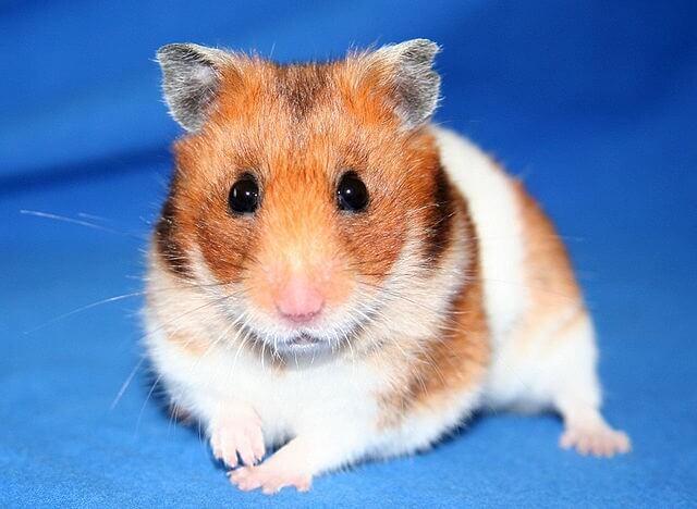 Hamster syrien dore