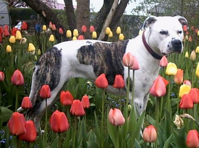Staffie dans le champ de tulipes