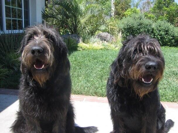 Deux australian labradoodles noirs