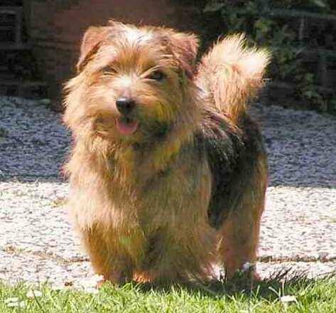 Norfolk terrier chien lettre N