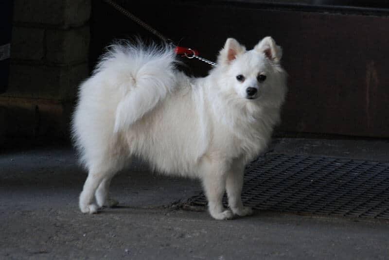 Volpino italien chien lettre V