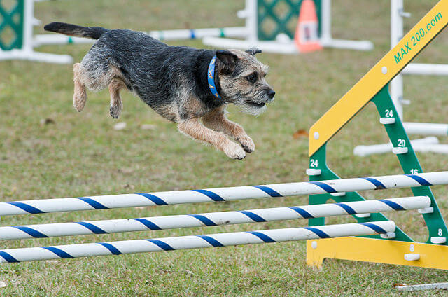 Chien border terrier agility