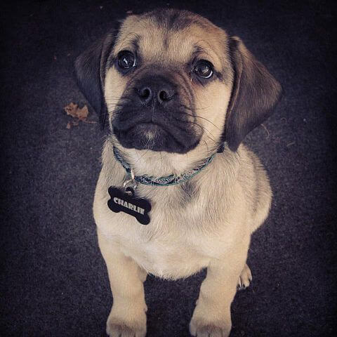 Puggle chien