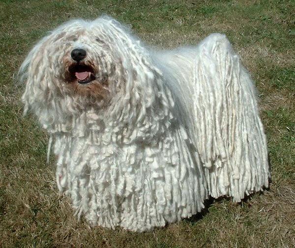 Puli chien blanc