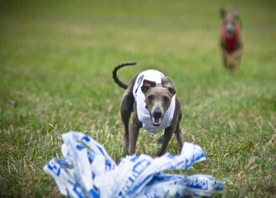 Chien italian greyhound course