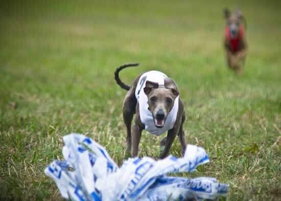 Chien italian greyhound course
