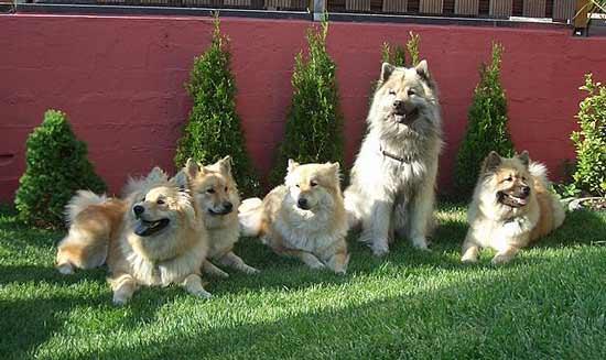 Meute chiens eurasiers adul