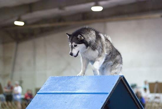 Agility chien de l'Alaska