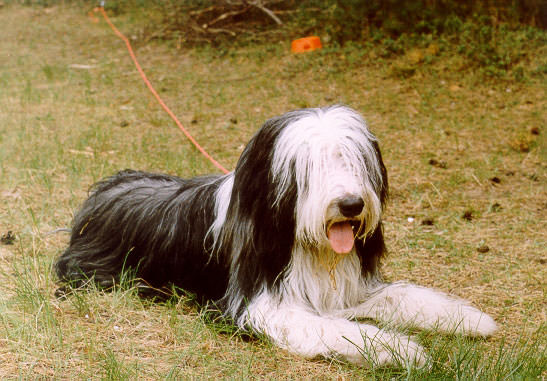 Bearded collie dehors