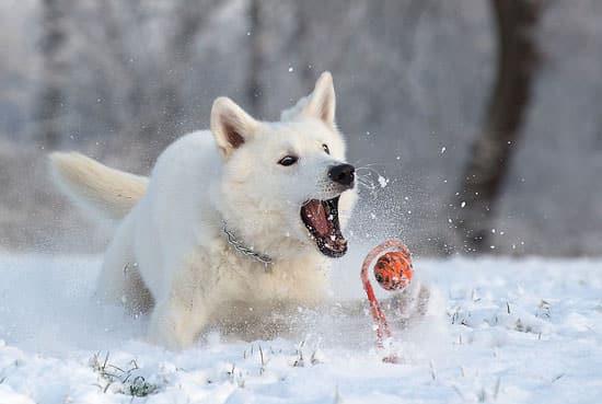 Berger blanc en plein jeu