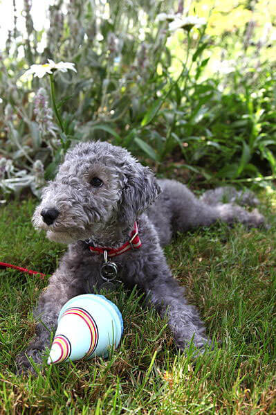 Chiot bedlington terrier