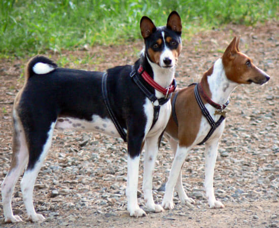 Deux chiens basenji adultes