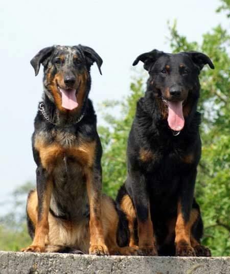 Deux chiens bergers de beauce