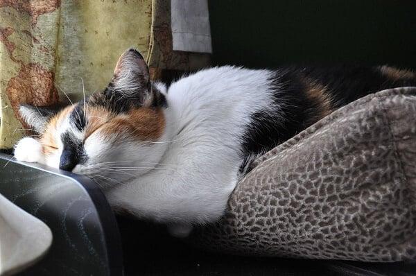 Chat americain poil court tricolore dormir