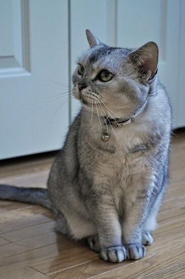 Chat american shorthair age femelle