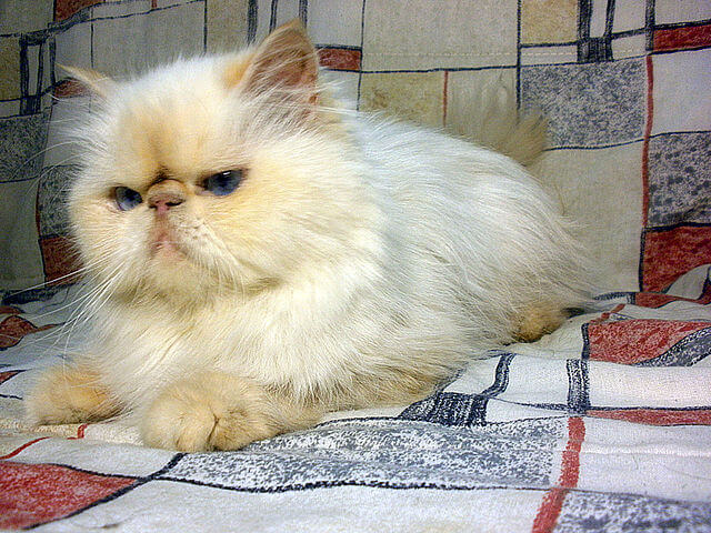Chat himalayen blanc