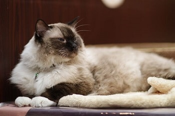 Chat ragdoll adulte