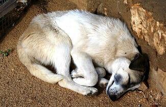 chien-amorphe-fatigue