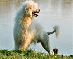 chien-d'eau-portugais