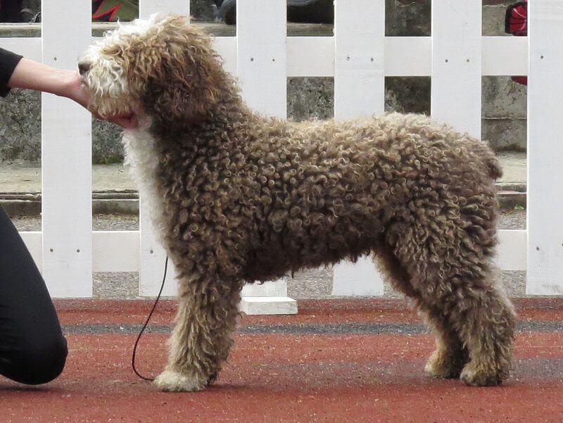 chien-deau-espagnol3