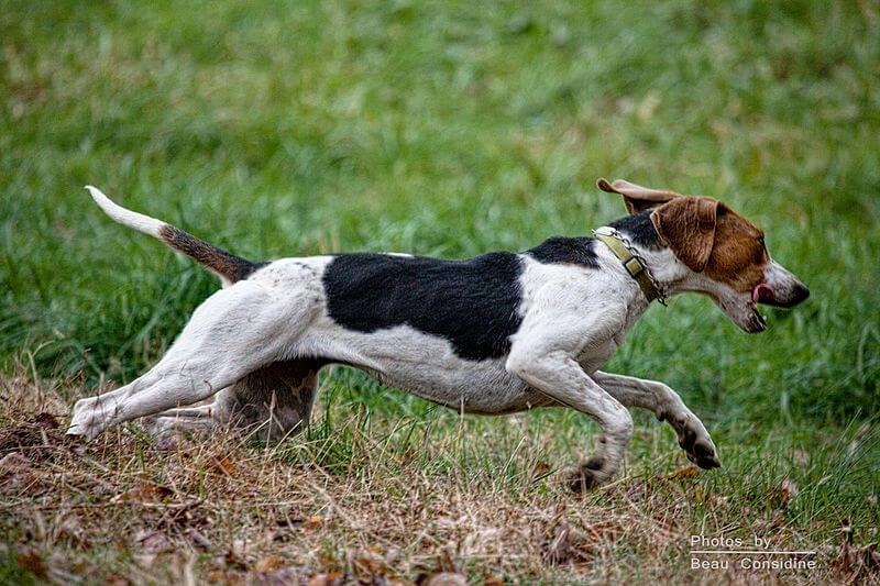 English-foxhound