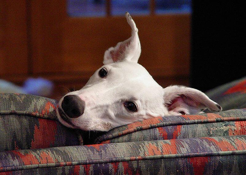 greyhound-2