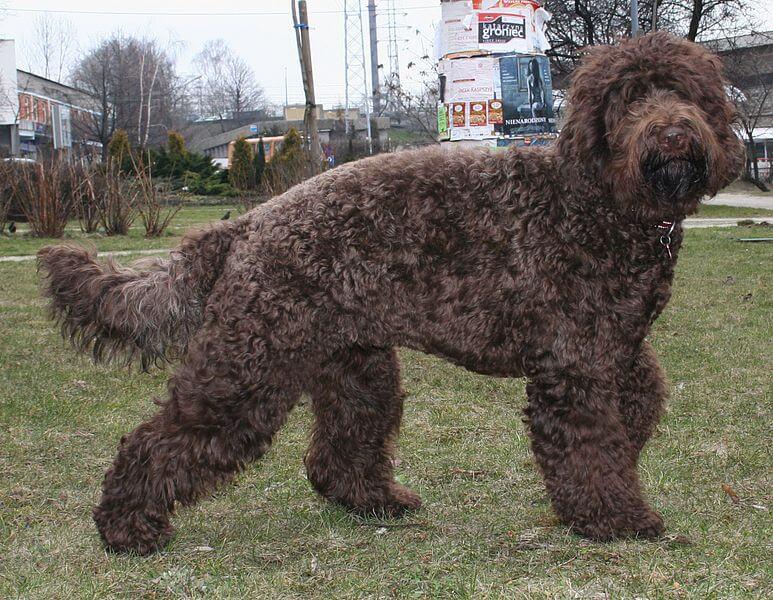 Barbet brun chien france