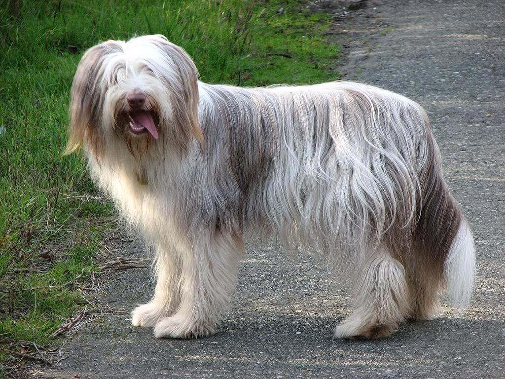Bearded collie chien