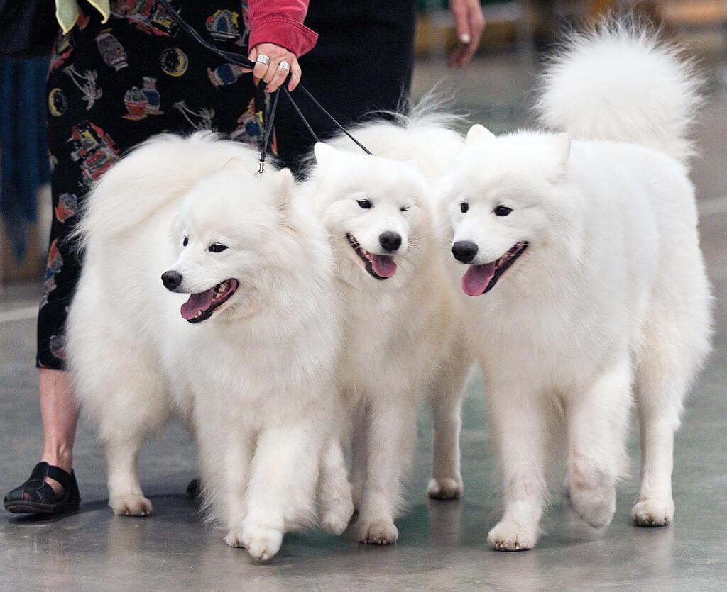 3 chiens samoyedes show