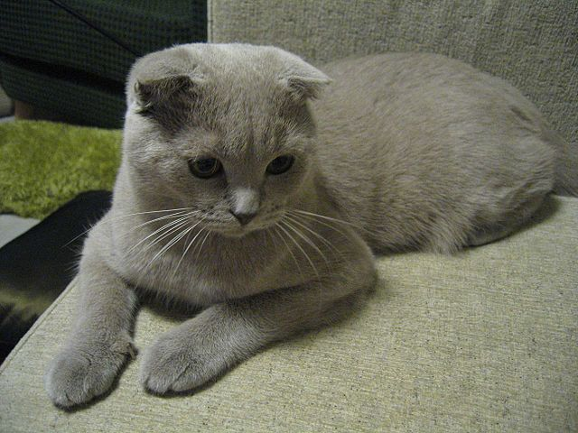 Elevage scottish fold