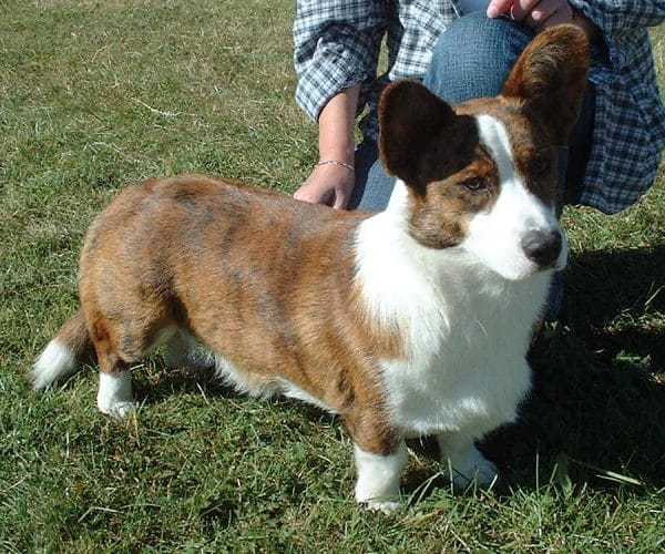 Elevage welsh corgi cardigan